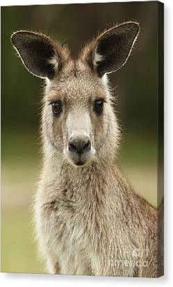 Kangaroo Canvas Print by Craig Dingle
