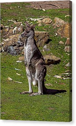 Kangaroo Canvas Print by Garry Gay