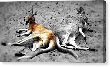Kangaroo Heart Canvas Print by Andrew Connolly