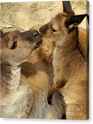 Kangaroo Kisses Canvas Print