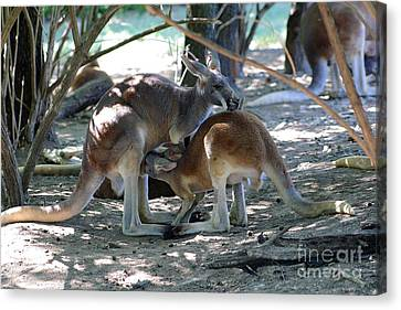 Kangaroo Nurse-6 Canvas Print by Gary Gingrich Galleries