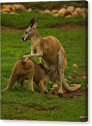 Kangaroo Nursing Its Joey Canvas Print by Chris Flees