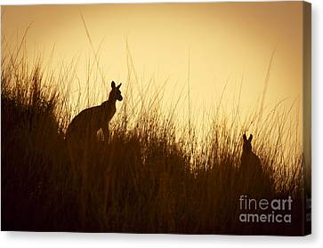 Kangaroo Silhouettes Canvas Print by Tim Hester