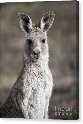 Kangaroo Canvas Print by Steven Ralser