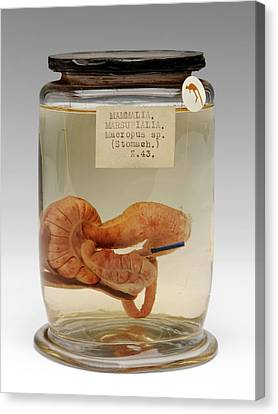 Kangaroo Canvas Print - Kangaroo Stomach Specimen by Ucl, Grant Museum Of Zoology