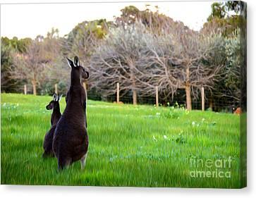 Kangaroos Canvas Print by Phill Petrovic