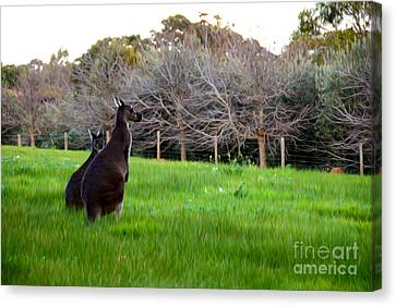 Kangaroos Together Canvas Print by Phill Petrovic