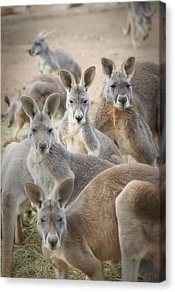 Kangaroo Canvas Print - Kangaroos Waga Waga Australia by Jim Julien