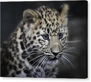 Canvas Print featuring the photograph Kanika - Amur Leopard Portrait by Chris Boulton