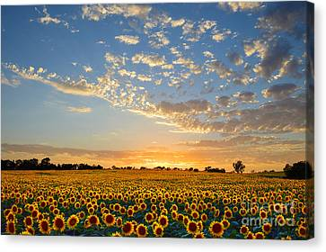 Kansas Sunflowers At Sunset Canvas Print by Catherine Sherman