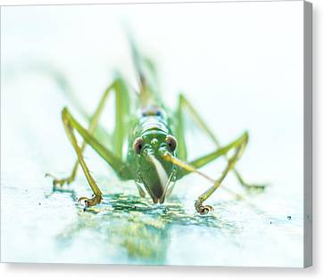 Katydid Canvas Print by Carl Engman