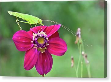 Katydid Canvas Print - Katydid On A Flower by K Jayaram