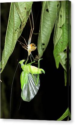 Katydid Shedding Skin Canvas Print by Dr Morley Read