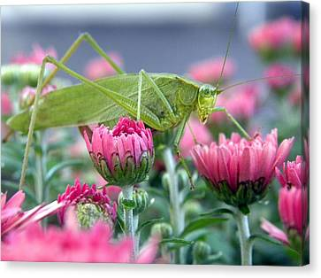 Canvas Print featuring the photograph Katydid by Teresa Schomig