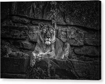 Keen Eyed Lioness Canvas Print