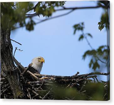 Keeping Guard Canvas Print by Bruce  Morrell