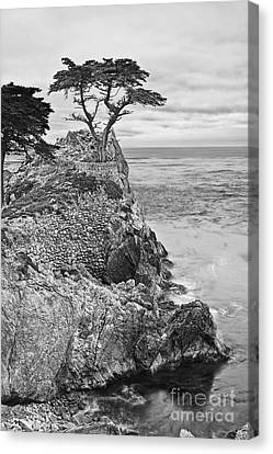 Keeping Watch - Famous Lone Cypress Tree At Pebble Beach In Monterey California In Black And White Canvas Print