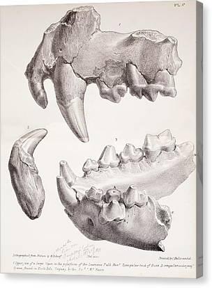 Kents Cavern Cave Lion Fossils Canvas Print by Paul D Stewart