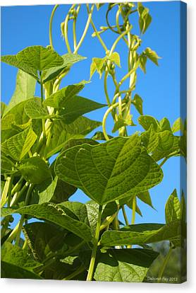 Kentucky Pole Beans Canvas Print by Deborah Fay