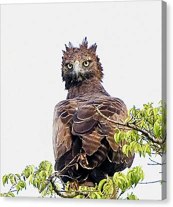 Kenya Martial Eagle Perched On Tree Canvas Print
