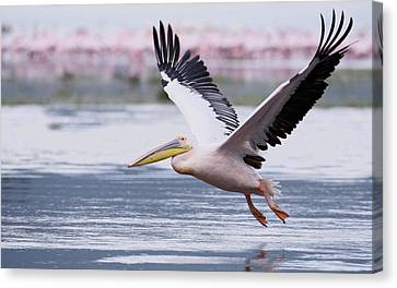 Flying White Pelicans Canvas Print - Kenya, Nakuru National Park by Jaynes Gallery
