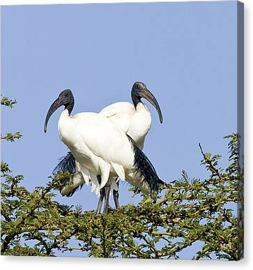 Kenya Pair Of Sacred Ibis Birds Stand Canvas Print