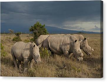 Simple Beauty In Colors Canvas Print - Kenya, Southern White Rhinos In Ol by Ian Cumming