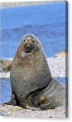 Kerguelen Fur Seal, Antarctic Fur Seal Canvas Print by Martin Zwick
