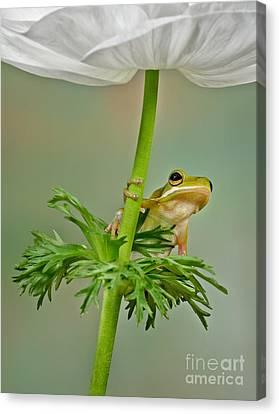 Kermits Canopy Canvas Print by Susan Candelario