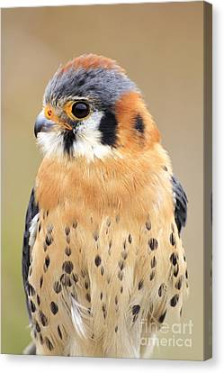 Kestral Canvas Print by Charline Xia
