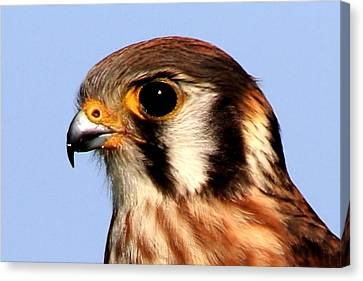 Kestrel Closeup Canvas Print