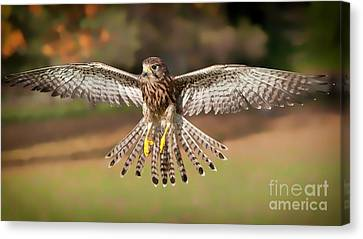 Kestrel Grace Canvas Print