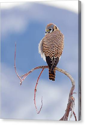 Kestrel In The Cold Canvas Print