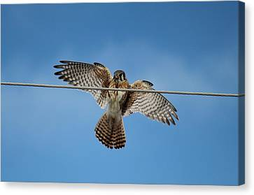 Kestrel Landing Canvas Print