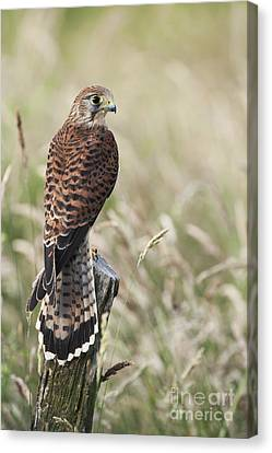 Kestrel Canvas Print by Tim Gainey