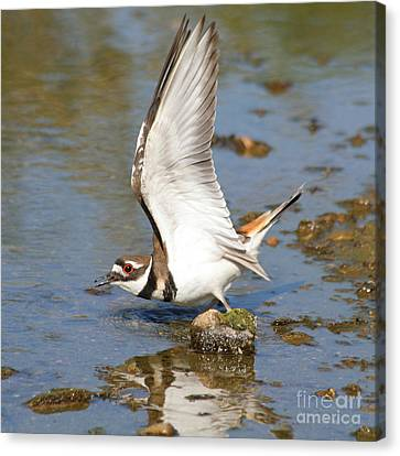 Canvas Print featuring the photograph Killdeer-2 by Bob and Jan Shriner