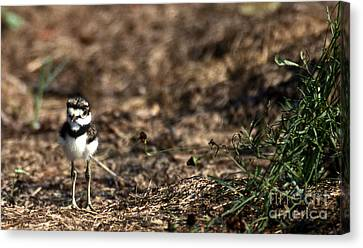 Killdeer Chick Canvas Print by Skip Willits