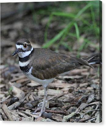 Killdeer Canvas Print by Dan Sproul