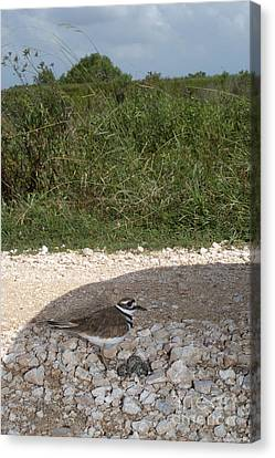 Killdeer Defending Nest Canvas Print by Gregory G. Dimijian