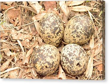 Killdeer Eggs Canvas Print by Dacia Doroff