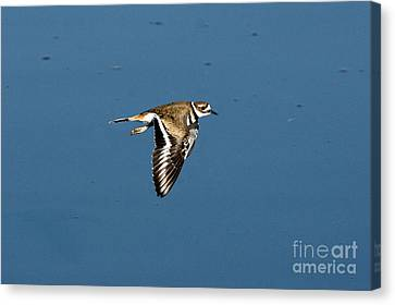 Killdeer In Flight Canvas Print by Anthony Mercieca