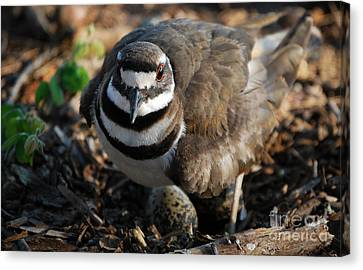Killdeer Mom Canvas Print by Skip Willits
