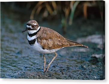 Killdeer Canvas Print by Paul J. Fusco