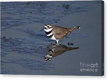 Killdeer Plover Charadrius Vociferus Canvas Print by Ron Sanford