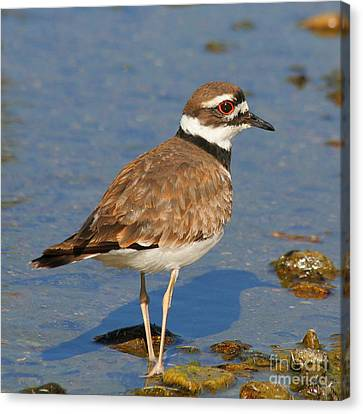 Canvas Print featuring the photograph Killdeer Wading by Bob and Jan Shriner