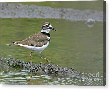 Killdeer Walking Canvas Print by Sharon Talson