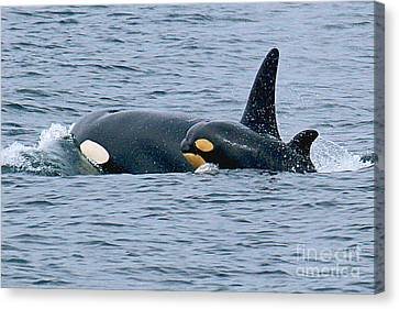 Canvas Print featuring the photograph Killer Whale Mother And New Born Calf Orcas In Monterey Bay 2013 by California Views Mr Pat Hathaway Archives