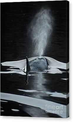 Killer Whale Orcinus Orcas Blowing Canvas Print by Ron Sanford
