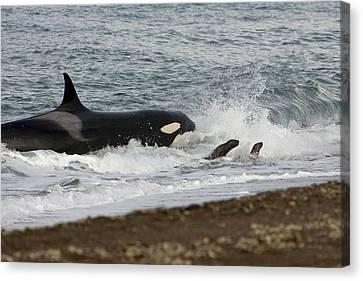 Killer Whale, Patagonia Canvas Print by Francois Gohier - Vwpics