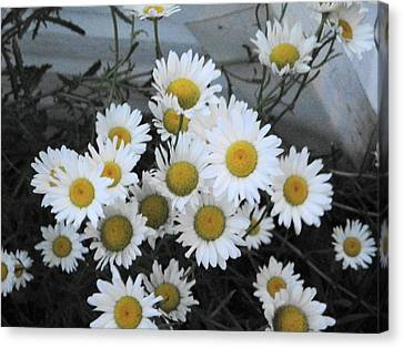 Kindergarten Daisies Canvas Print by Suzanne Perry